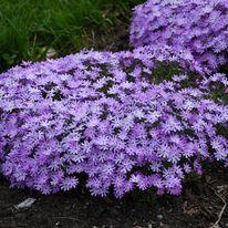 Phlox - Bedazzled Lavender