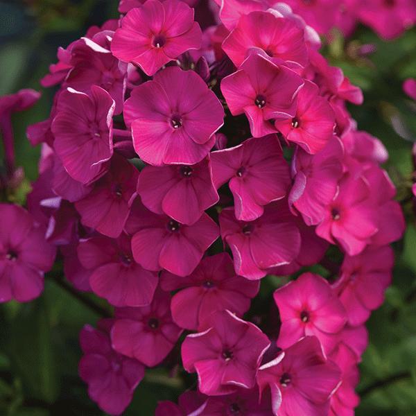Phlox - paniculata Super Ka-Pow Fuchsia