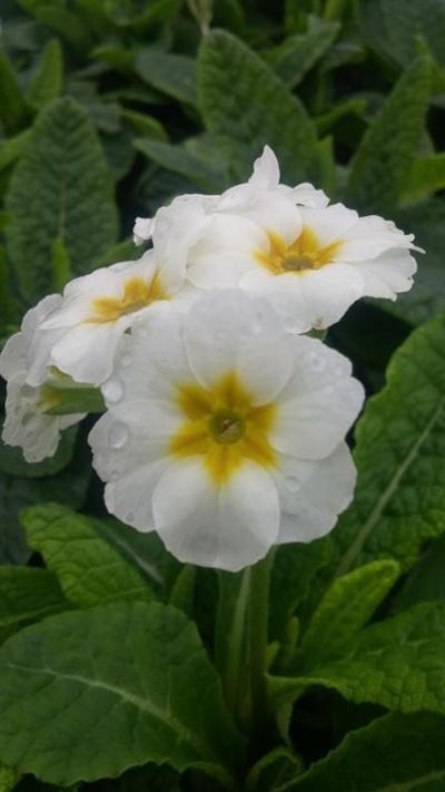 Primula - elatior Crescendo Pure White