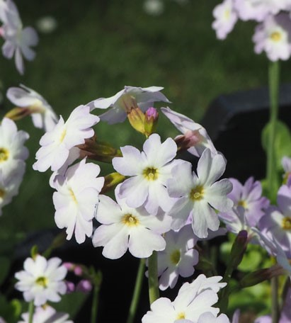 Primula - munroi subsp. Munroi syn. Primula involucrata