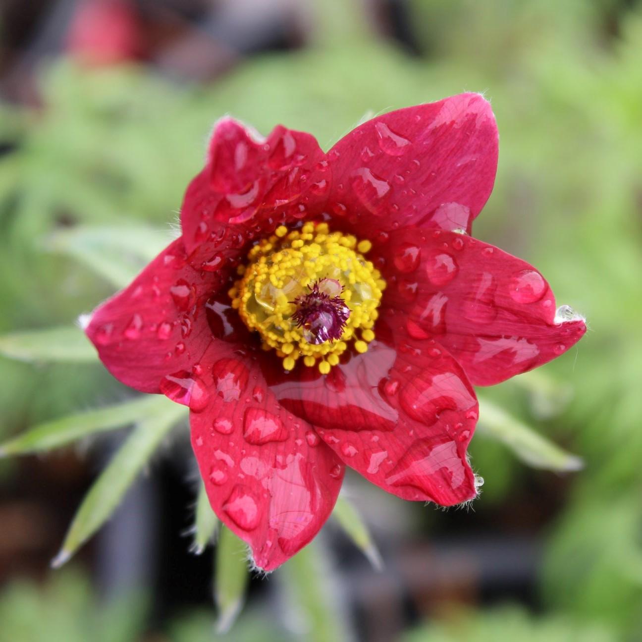 Pulsatilla - vulgaris Red Bells