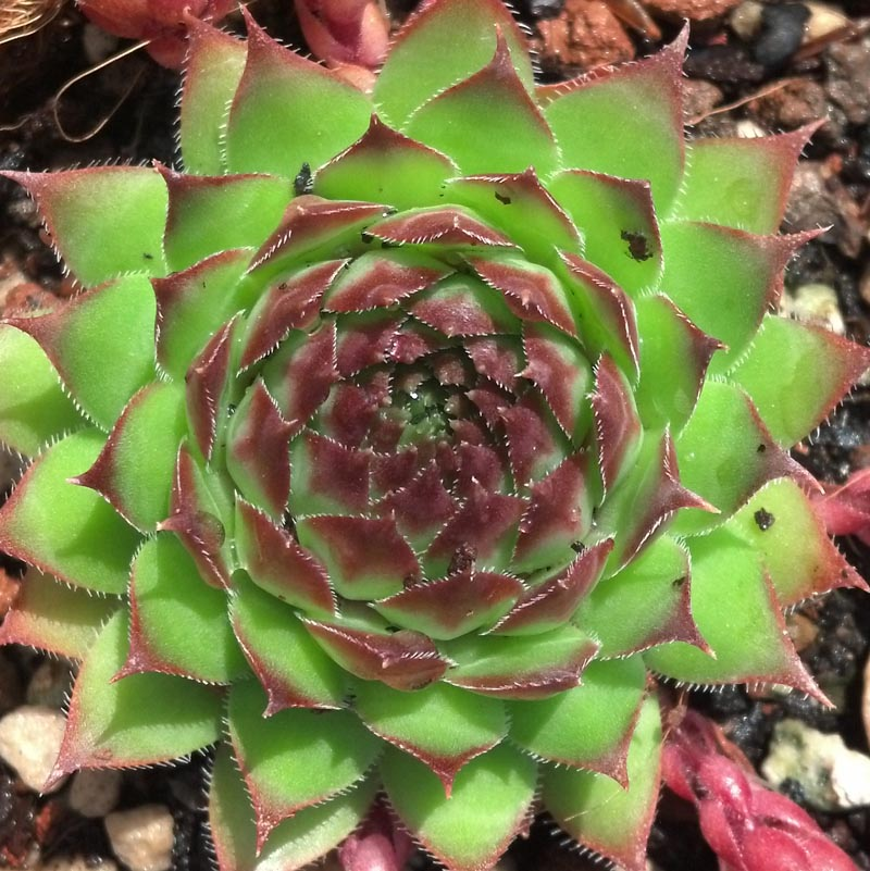 Sempervivum - tectorum Sunset
